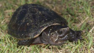 Striped mud turtles (Kinosternon baurii) are found throughout Florida.