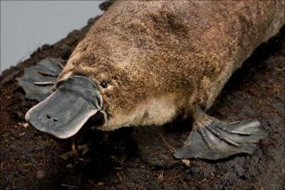 Platypus Facts | Live Science