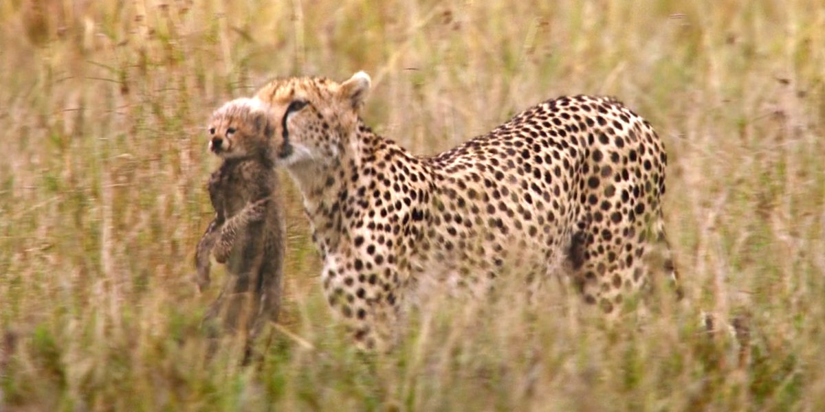 A cheetah carries her cub in African Cats