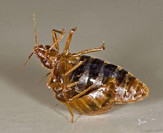 bedbugs, animal sex, invertebrates