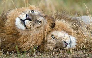 Dynasties - episode: Lion