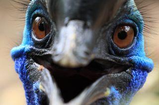 A cassowary bird