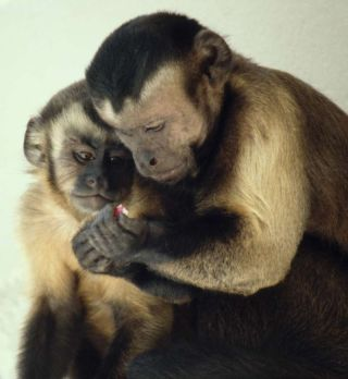 Brown capuchin monkeys sharing food.