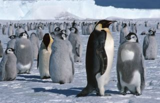 emperor-penguin-02