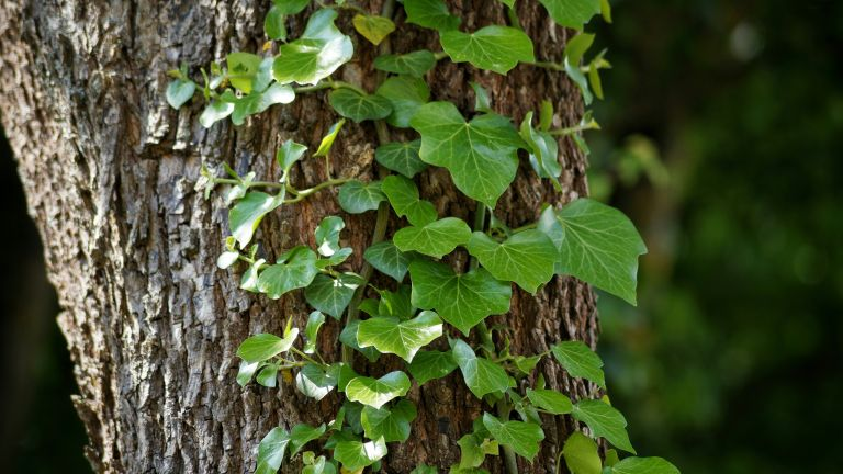 is ivy bad for trees