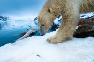 A large male polar bear returns to feed on a fin whale carcass.