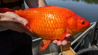 One of the enormous fish discovered in Lake Keller.