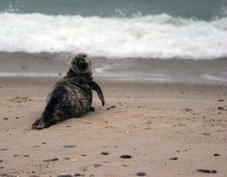 baby gray seal