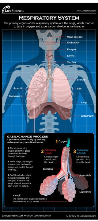 Infographic: Find out all about your lungs and how breathing works.