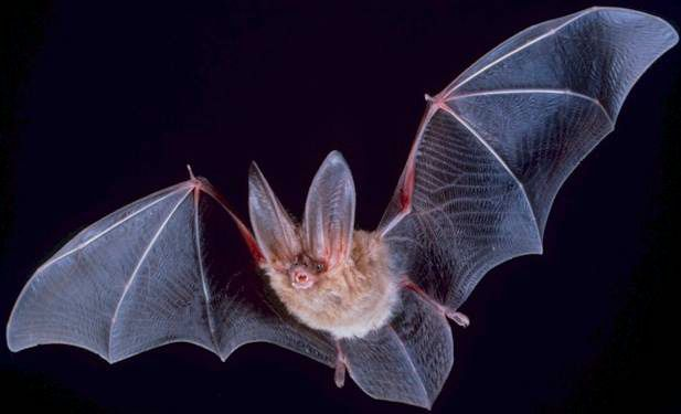 Bats Fuzzy Flying Mammals Live Science
