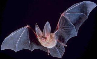 bats-longevity