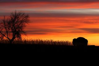 Bison against the sunset with tree