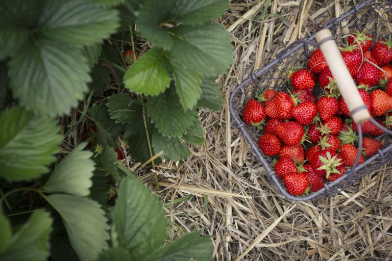 Strawberries: when to plant strawberries and a selection in a basket that have been picked