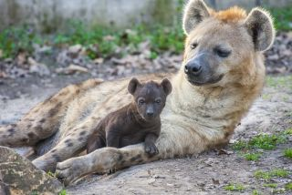 A spotted hyena mother with her cub.