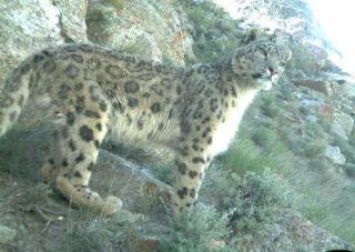 Snow leopard close-up.
