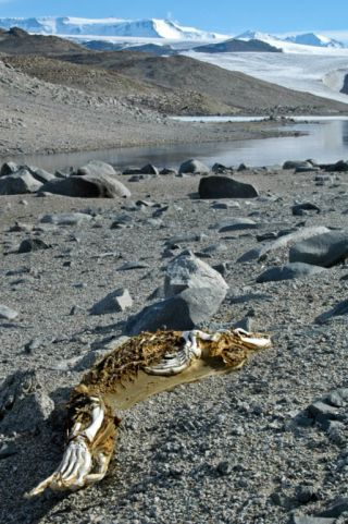 A seal carcass in one of the Dry Valleys of Antarctica in a stage of advanced mummification.