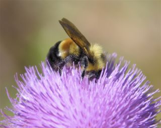 Facts About Bumblebees | Live Science