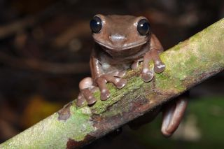 The chocolate frog has been hiding in the crocodile-infested swamps of New Guinea, evading detection until now.