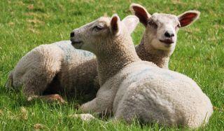 lambs-110316-02