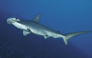 A scalloped hammerhead shark, which looks virtually identical to the newfound species, the Carolina hammerhead.