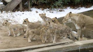 lion-cubs-named-101220-02