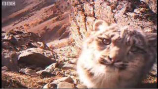 baby-snow-leopard-100922-02
