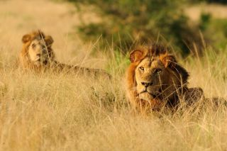 Two male African lions recline in the tall grass in Uganda's Queen Elizabeth National Park.