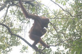orangutans, borneo, Pongo pygmaeus pygmaeus