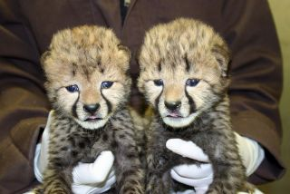 The two cheetah cubs born at the Smithsonian Conservation Biology Institute when they were 16 days old.
