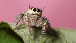 A jumping spider against a pink background