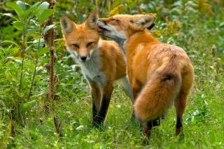 Red fox kissing the ear of its mate