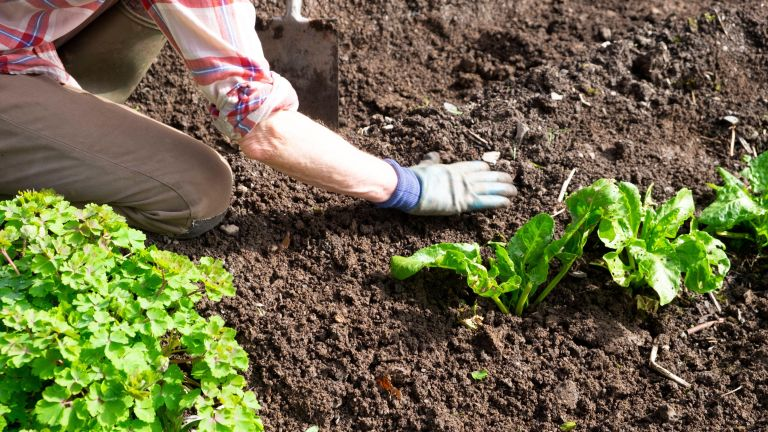 Older woman arm hand in gardening glove weeding lettuces spinach plants on freshly dug garden soil