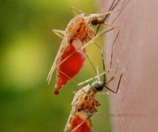 mosquitoes-malaria