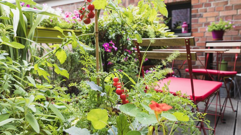 companion planting: tomatoes and nasturtium