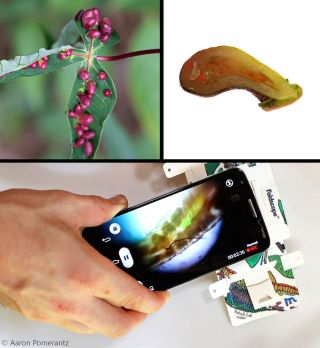foldscope image of leaf gall