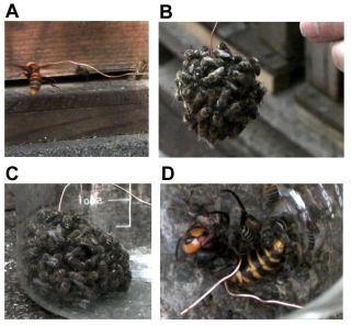Several images of the defensive bee ball, where the bees pile on a giant predatory wasp.