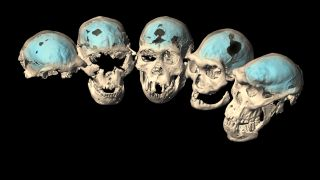 """Virtual reconstructions of the five, well-preserved Homo erectus skulls from Dmanisi, Georgia, which are dated to between 1.85 million and 1.77 million years ago. These individuals had """"primitive"""" brains, a new study finds."""
