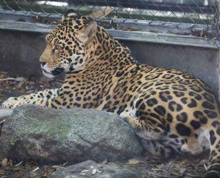 Jaguar at New Orleans Zoo
