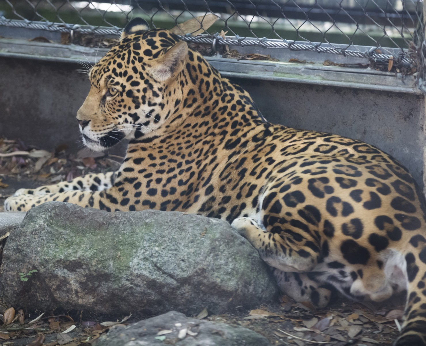 Why Escaped Jaguar Went On Killing Spree At New Orleans Zoo Live Science