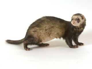 Ferret and H5N1 research. Researchers altered bird flu viruses so they spread between ferrets through the air.