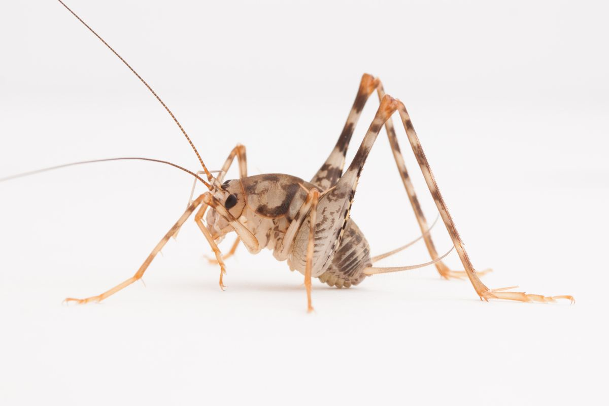 Invasive Camel Crickets Widespread In Us Homes Live Science
