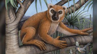 Illustration of Megaladapis edwardsi.
