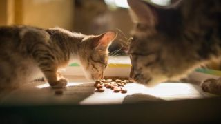 Cat mom devises kitten cafe to stop adult cat from eating kitten food