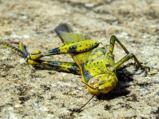 A dead grasshopper.