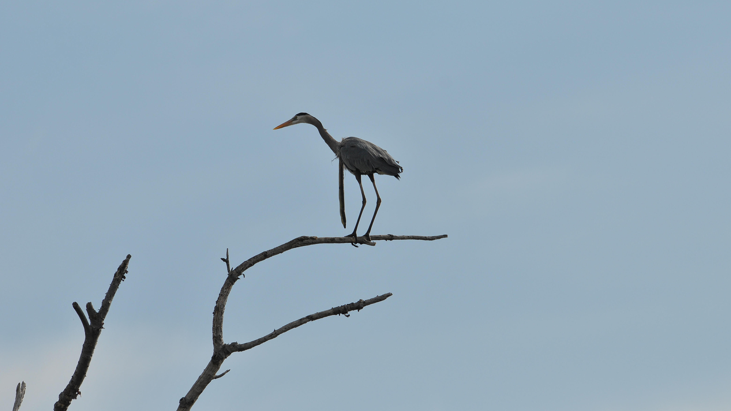 The heron appeared unbothered by the snake eel.