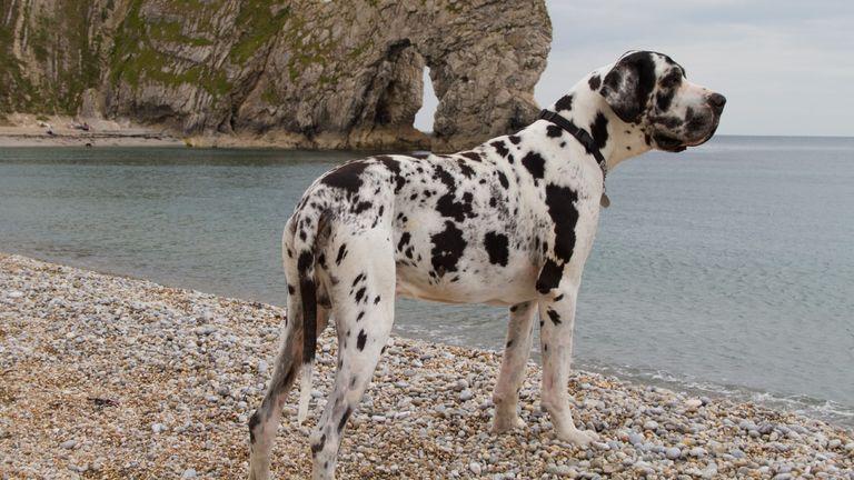 big dog breeds: great dane