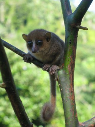 mouse lemur on branch.