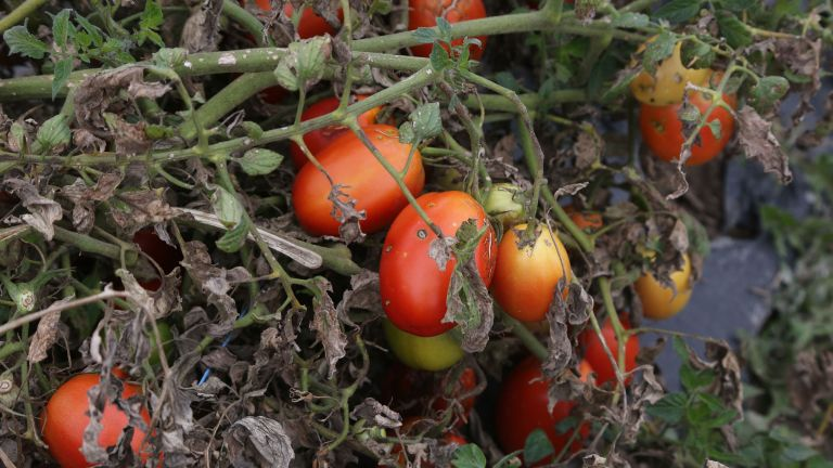 tomato blight treatment for crops affected by blight