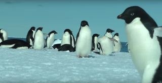 Adélie penguins come to the edge of sea ice to feed on krill and fish.
