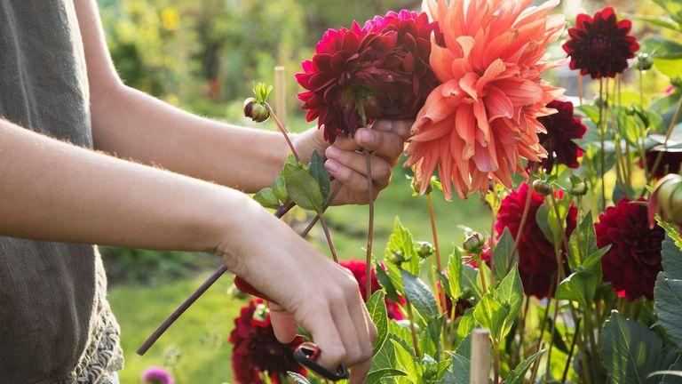 dahlias being cut from garden
